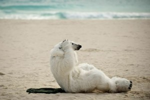 polar-bear-500x333